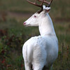 """ Mister Majestic""  Wild Albino whitetail buck of Boulder Junction Wisconsin"