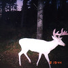 """ The Ghost of the Darkness "" Albino whitetail buck caught on a deer cam because he only visited in the Dark. Wild Albino whitetail deer of Boulder Junction Wisconsin"