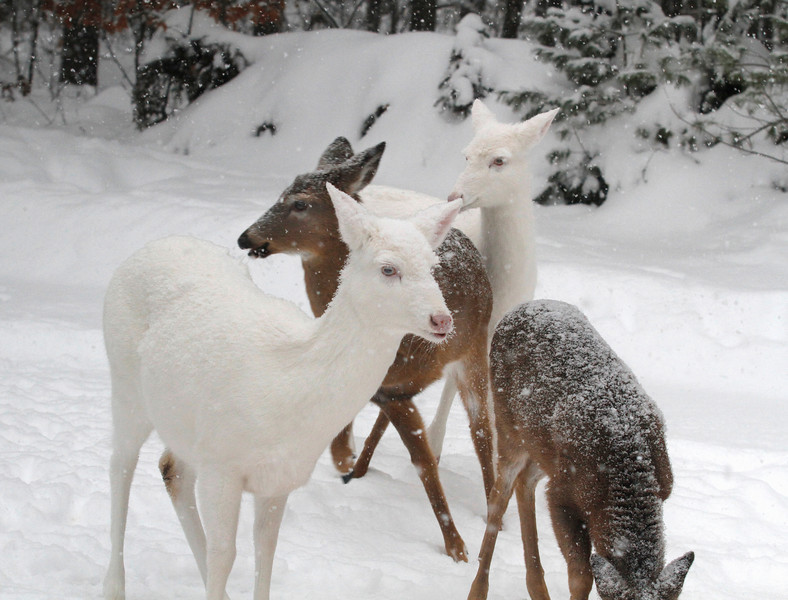 """"""" UH-OH! They've Got Me Surrounded  """"  Wild Albino Whitetail Deer of Boulder Junction Wisconsin"""