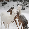 """ UH-OH! They've Got Me Surrounded  ""  Wild Albino Whitetail Deer of Boulder Junction Wisconsin"