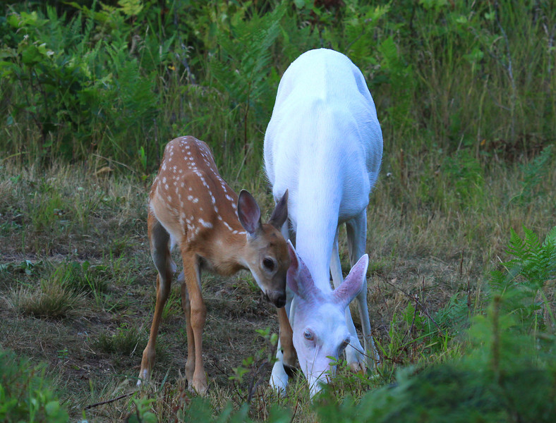 """"""" Come on Ma I'm Hungry Too!  Wild Albino whitetail deer of Boulder Junction Wisconsin"""