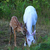 """ Come on Ma I'm Hungry Too!  Wild Albino whitetail deer of Boulder Junction Wisconsin"