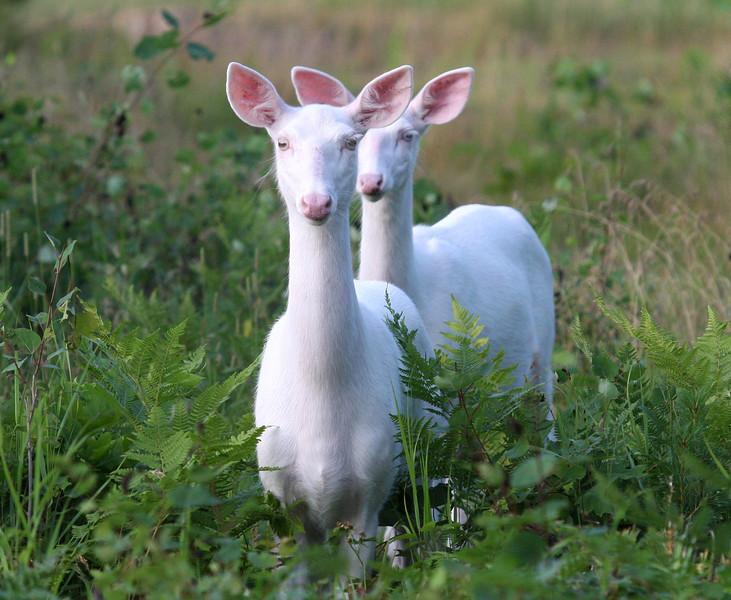"'Follow Me""  Wild Albino whitetail deer of Boulder Junction Wisconsin"