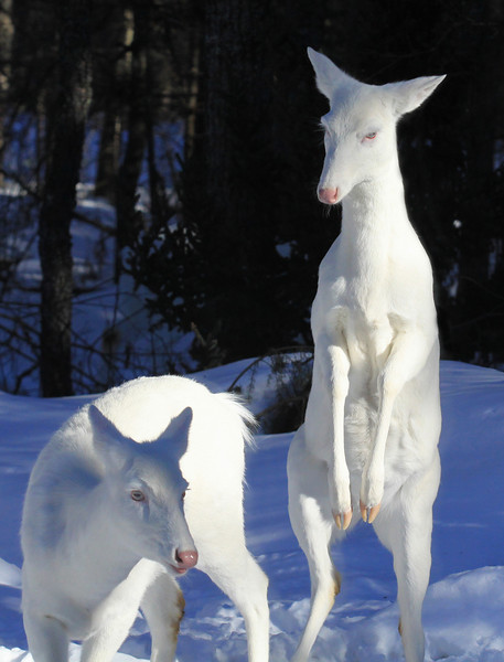 """ She's a Little bit Dangerous ""  - Wild Albino whitetail deer"