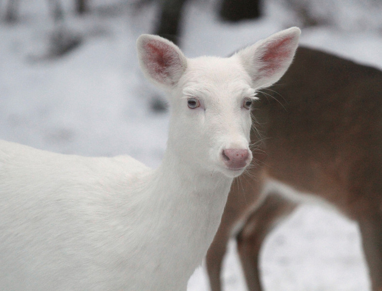 """ Albino Whitetail Deer Portrait  2""  Wild albino whitetail deer of Boulder Junction Wisconsin"