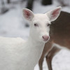 """ Albino Whitetail Deer Portrait  2""  Wild albino whitetail deer of Boulder Junction Wisconsin"