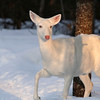 """Suzy in the Sunshine"" 3  Wild albino whitetail deer of Boulder Junction Wisconsin"
