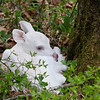 Albino Fawn Sitting Pretty  2
