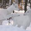 """ I'll Scratch Your Back if You Scratch Mine "" Wild Albino whitetail deer of Boulder Junction Wisconsin"