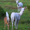 """ Heads or Tails ""  Wild Albino whitetail deer of Boulder Junction Wisconsin."