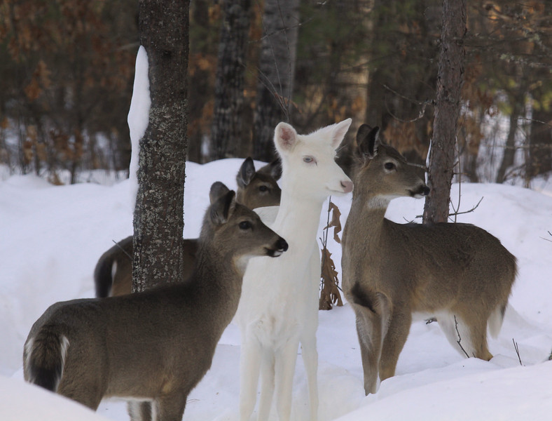 """""""  The Eyes Have It """" Wild Albino whitetail deer of Boulder Junction Wisconsin"""