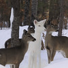 """  The Eyes Have It "" Wild Albino whitetail deer of Boulder Junction Wisconsin"