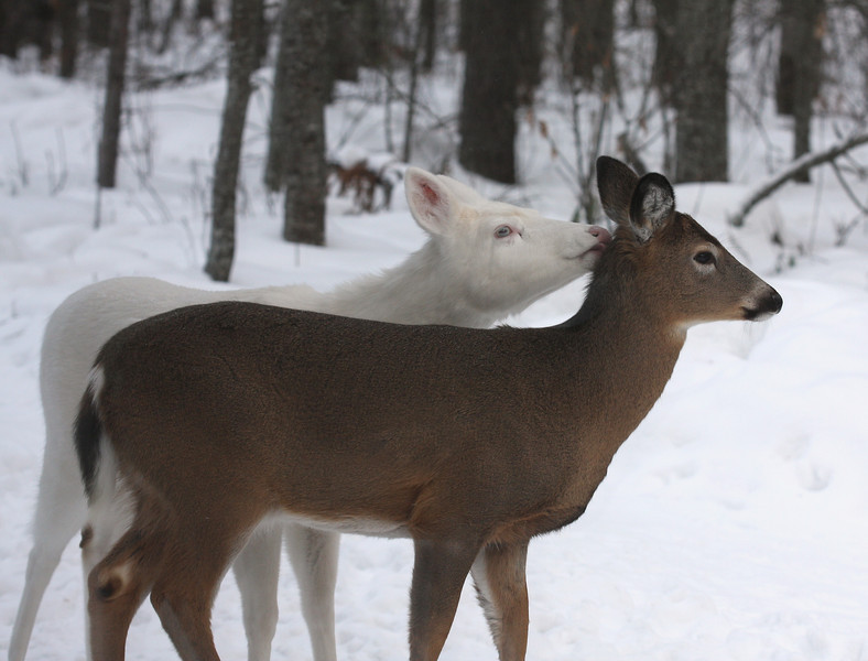 """ All You Need is Love ""  Wild Albino whitetail deer of Boulder Junction Wisconsin"