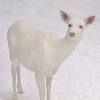 """ Snow White Living in a White World""  Wild Albino whitetail deer of Boulder Junction Wisconsin"
