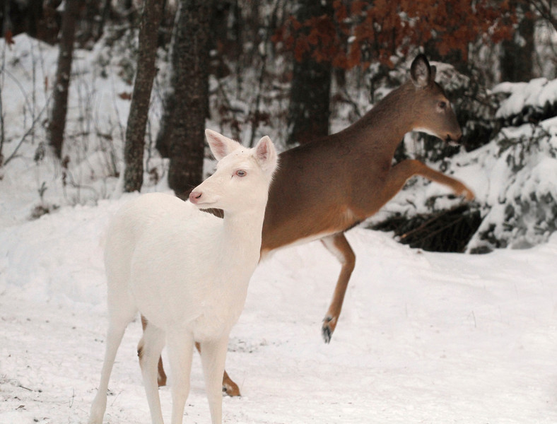 """ Lets Dance ""  Wild Albino whitetail deer of Boulder Junction Wisconsin"