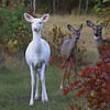""" We Love Autumn Colors Too 2 ""  Wild Albino whitetail deer of Boulder Junction Wisconsin"