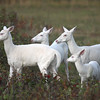 "'Four Queens""   Wild Albino whitetail deer of Boulder Junction Wisconsin"