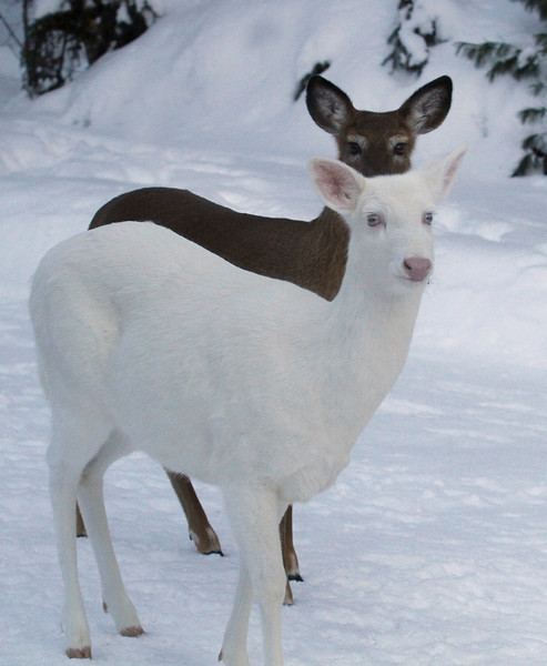 Dark Shadows  -  Albino whitetail deer of Boulder Junction Wisconsin
