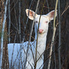 """  Can You See Me Now ? "" Wild Albino whitetail deer of Boulder Junction Wisconsin"