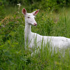 Wild One  2   Wild Albino whitetail deer of Boulder Junction Wisconsin
