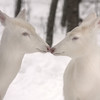 """Albino Deer Kisses""  Wild Albino whitetail deer of Boulder Junction Wisconsin"