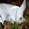 Newborn Albino Fawn   3