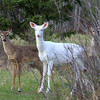 """  All Eyes and Ears  ""  Wild Albino whitetail with her two brown whitetail fawns."