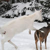 """ You Have Entered the Danger Zone ""  6  Wild Albino whitetail deer of Boulder Junction Wisconsin"