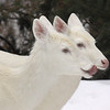 """It's Right on the Tip of My Tongue""  Wild Albino whitetail deer of Boulder Junction Wisconsin"