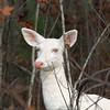 """  I'm Hiding in Plain Sight  ""  Wild Albino whitetail deer of Boulder Junction Wisconsin"