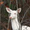 """  I'm Hiding in Plain Sight  ""  Wild Albino whitetail deer of Boulder Junction Wisconsin"