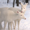"""Tender Loving Care""  Wild Albino whitetail deer of Boulder Junction Wisconsin"
