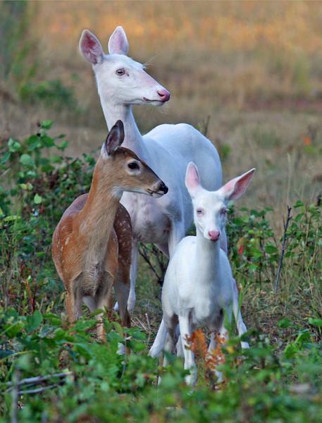 """""""Natures Big Surprise""""  Wild Albino whitetail deer of Boulder Junction Wisconsin"""