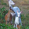 """Natures Big Surprise""  Wild Albino whitetail deer of Boulder Junction Wisconsin"