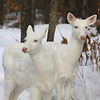 """Sister Act""  Wild Albino whitetail deer of Boulder Junction Wisconsin"