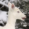 """ It's So Cold My Tongue is Froze""  Wild Albino whitetail deer of Boulder Junction Wisconsin"
