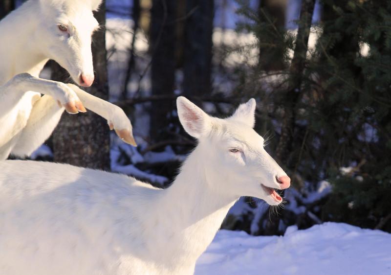 "Wild Albino-tailed Deer  ""Sneak Attack ""  Wild Albino whitetail deer of Boulder Junction Wisconsin"