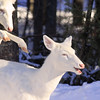 "Wild Albino-tailed Deer  ""Sneak Attack ""  Wild Albino whitetail deer of Boulder Junction Wisconsin"