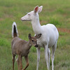 """  Danger!  Proceed With Caution  "" Wild Albino whitetail deer of Boulder Junction Wisconsin"