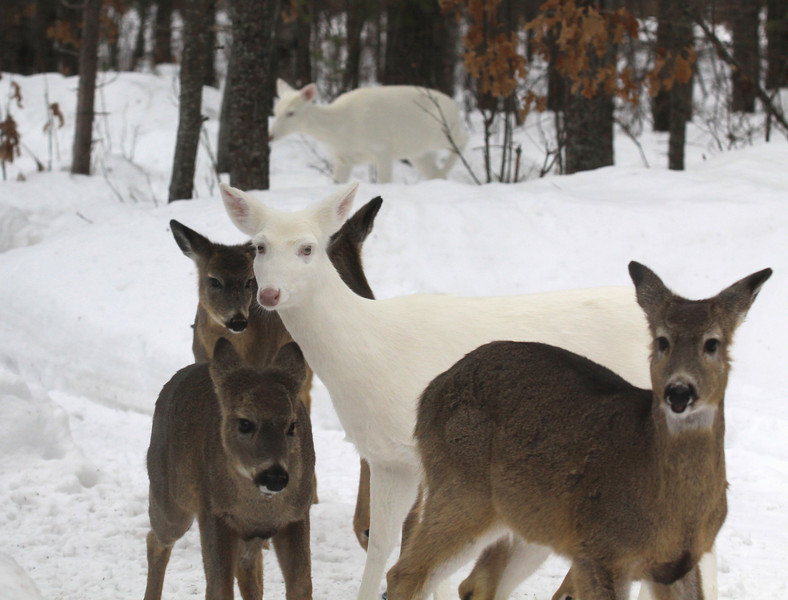 """  Ring Around the Rosy!  "" Wild Albino whitetail deer of Boulder Junction Wisconsin"