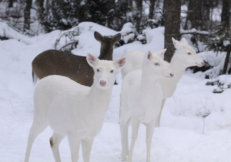 """'The Gang Has Arrived""""  Wild Albino whitetail deer of Boulder Junction Wisconsin"""