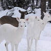 "'The Gang Has Arrived""  Wild Albino whitetail deer of Boulder Junction Wisconsin"