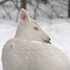 """  Catching Snow Flakes  ""  Wild Albino whitetail deer of Boulder Junction Wisconsin"