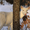 """Can You See Me Now?  Wild Albino whitetail deer of Boulder Junction Wisconsin"