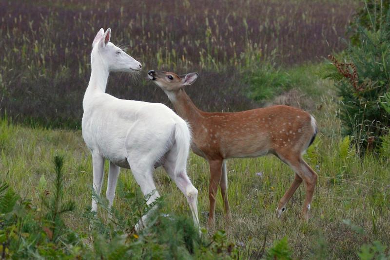 """""""I Love My Mother """"  Wild albino deer of Boulder Junction Wisconsin"""