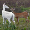 """I Love My Mother ""  Wild albino deer of Boulder Junction Wisconsin"