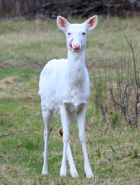""" I'm Licking My Chops for You "" Wild Albino Whitetail Deer of Boulder Junction Wisconsin"