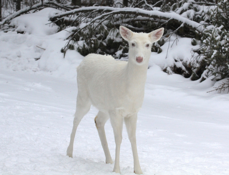 "I'm Here""  Wild Albino whitetail deer of Boulder Junction Wisconsin"