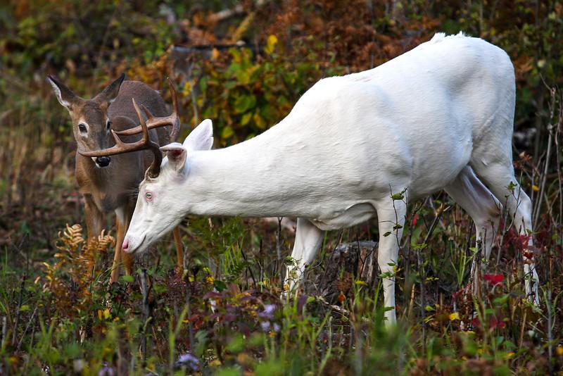 Albino Buck and Fawn