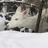 "'Snowed In""  Wild Albino whitetail deer of Boulder Junction Wisconsin"